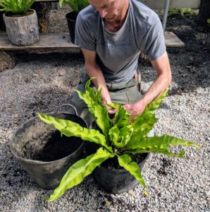 Here is Gavin tending to one of the bird's nest ferns, Asplenium nidus. Bird's-nest fern is a common name applied to several related species of epiphytic ferns in the genus Asplenium.
