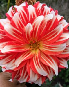 Dahlias come in a myriad of colors. Here's one of my favorites - 'Myrtle's Brandy'. This dahlia is bright red with white tips whose petals fold back towards the stems. It is an excellent cut flower variety.