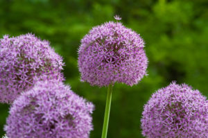 Allium 'Gladiator' is a spectacular giant onion that blooms in early summer with six-inch diameter rose-purple globes on three to four-foot flower stems. These alliums will also produce a sweet-scent. (Photo courtesy of Colorblends)