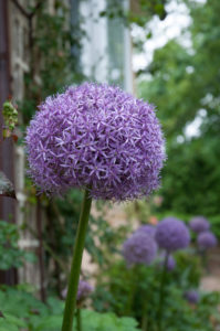 Allium 'Globemaster' is another tall allium that blooms in early summer with six-inch diameter rose-purple globes. 'Globemaster' and 'Gladiator' alliums are the tallest of the giant Allium. (Photo courtesy of Colorblends)