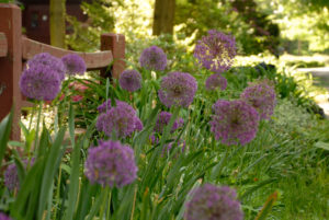 'Purple Sensation' alliums are four-inch globes of rich purple flowers on tall stems. (Photo courtesy of Colorblends)