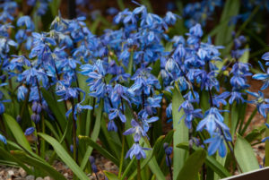 Scilla bloom best when they are grown in full sun, but they can also be grown in partial shade. Scilla will not grow in deep shade. They are quick to plant and untroubled by rodents and deer. (Photo courtesy of Colorblends)