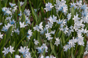 Closely related to Chionodoxa and Scilla, Striped Squill, Puschkinia scilloides, is a deer- and rodent-resistant naturalizer named after Russian botanist Count Apollos Apollosvich Mussin-Puschkin. Puschkinia is best grown in moist, fertile, well-draining soil in full sun to partial sunlight. (Photo courtesy of Colorblends)