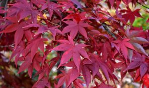 Red leafed cultivars are the most popular, followed by green shrubs with deeply dissected leaves. The leaves in the Palmatum Group are most typical of the wild species. The leaf lobes are more divided, nearly to the leaf base.