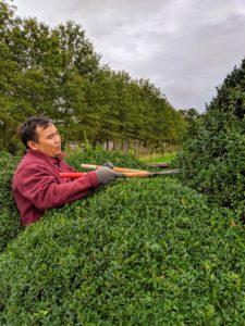 Chhewang is pruning all the boxwood around the farm. Introduced to America in 1652, members of the genus Buxus include about 30 species and 160 cultivars. Boxwood, like most shrubs, needs periodic trimming to promote new growth and clean out dead or twisted branches that can be harmful to the bush or prevent proper air circulation.