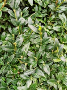 Boxwood is easy to grow and its compact evergreen leaves add texture and form to the garden. I have a lot of boxwood - both American and European varieties. To maintain them, I started to use TopBuxus Restore and Protect Health Mix - it has done wonders to keep my boxwood looking lush and green. It's available on Amazon. https://topbuxus.com/en/