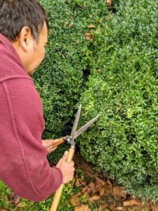 Chhewang uses Japanese hand shears to do the job. It takes several weeks to trim all the boxwood, but it is well worth all the effort to keep them healthy.