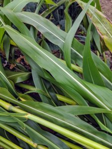 The leaves are also long and papery just like a cornstalk.