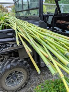 Now these stalks are smooth and clear of all the lower leaves - these stalks look similar to bamboo.