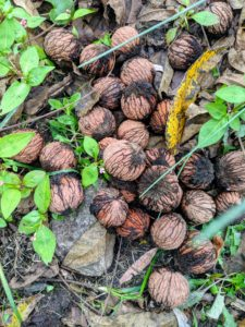 What's left are the walnuts in their hard shells - the hardest shells of all the tree nuts.
