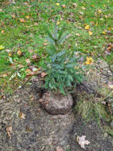 Back by my field of Christmas trees, we also planted some spruce trees. A spruce is a tree of the genus Picea, a genus of about 35 species of coniferous evergreen trees in the family Pinaceae, found in the northern temperate and boreal regions of the Earth. Spruces are large trees and have whorled branches and conical forms. Here, the root ball is already fertilized and waiting to be backfilled.