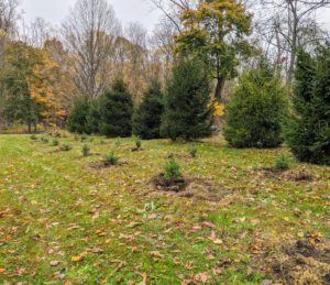Two rows of young spruce trees are planted in this area in front of some already mature spruce specimens.
