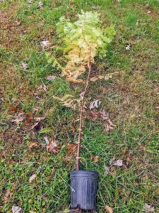 The crew also planted some of these young dawn redwood trees, which have also been developing in pots for at least one year before being transplanted.