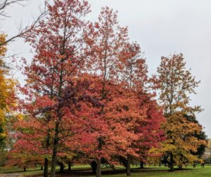 As colder weather approaches and sunlight decreases, these trees seal the spots where the leaves are attached - this process is what causes them to change color and fall to the ground.