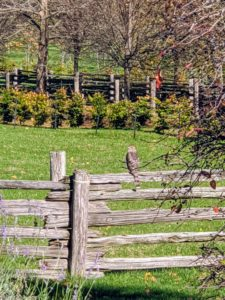 And here is a photo I captured of a Cooper's Hawk enjoying the autumn views from the fence in front of my Winter House. These hawks are medium-sized with broad, rounded wings and a long tail. What autumn chores are you doing? Share them in the comments section below.