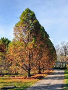 "The bald cypress trees are changing so beautifully. Although many conifers are evergreen, bald cypress trees are deciduous conifers that shed their needle-like leaves in the fall. In fact, they get the name ""bald"" cypress because they drop their leaves early in the season. Their fall colors include tan, cinnamon, and fiery orange."
