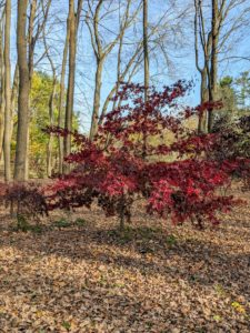 Japanese maples typically grow about one-foot per year for the first 50-years, but they can live to be more than a hundred.