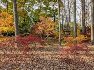 """Japanese maples are native to areas of Japan, Korea, China, and Russia. In Japan, the maple is called the """"autumn welcoming tree"""" and is planted in the western portion of gardens – the direction from which fall arrives there."""