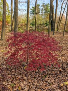Japanese maples are hardy in hardiness zones 5 through 8.