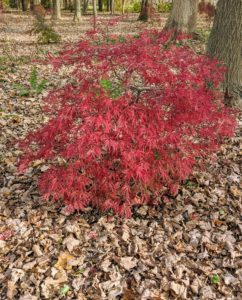 Young trees should be kept moist to prevent their shallow root structures from drying out and weakening, particularly during the hot summer months.