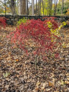 With the right conditions, the fall colors of the Japanese maple may last for several weeks. Unfortunately, we did have a dip in temperatures over the weekend and are expecting much colder weather this week, so the colors have now dulled a bit.