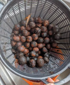 Good black walnuts will sink - all of these should be good. The nuts are rinsed several times and then well-strained.