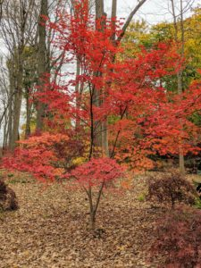 Few trees are as beautiful as the Japanese maple. With more than a thousand varieties and cultivars including hybrids, the iconic Japanese maple tree is among the most versatile small trees for use in the landscape.