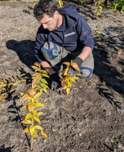Here's Ryan cutting down the lily stems that have turned yellow. He removes the stalks at their base, cutting through them with shears. They will come back next year.