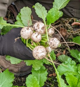 It's a good idea to harvest turnips before heavy freezes or the root may crack and rot in the soil.