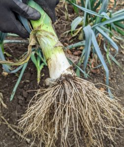 Leeks can be picked any time after the stalks are about an inch across.