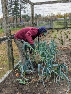 Ryan also harvests several leeks. The edible part of the plant is a bundle of leaf sheaths that is sometimes called a stem or stalk.