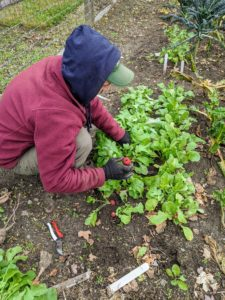 Next, the radishes. It is so much fun harvesting root vegetables - it's a surprise to pull every one of them up through the soil.