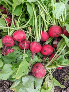 These radishes are so bright and red. The radish is an edible root vegetable of the Brassicaceae family that was domesticated in Europe in pre-Roman times. Radishes are mostly eaten raw as a crunchy salad vegetable.