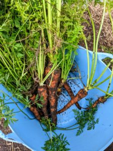 Be gentle when picking carrots. It helps to loosen the soil first with a garden fork before pulling them up.