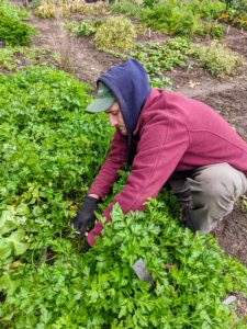 Before leaving the vegetable garden, Ryan harvests a big bunch of parsley by cutting the stems off at the bottom of the plant.