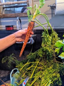 The carrots are a good size - these will be so delicious. Enma washes each one, scrubbing them lightly with a brush specifically made for vegetables.