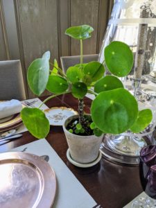 We placed money plants down the length of the dining table. Chinese money plants, Pilea peperomioides, are so handsome, and they always attract lots of attention.