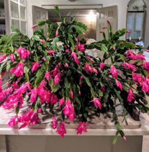This stunning Christmas Cactus originally belonged to my mother, Big Martha. My late sister, Laura Plimpton found two small stem segments, called cladodes, in the back of a drawer several years after our mother died. We took a chance and planted them, and they thrived. This is the plant now. Laura would have loved it.