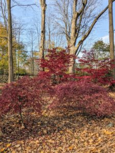 Leaf color best develops when nighttime temperatures remain above freezing but below 45-degrees Fahrenheit. A sudden cold snap could turn the leaves more plum-brown seemingly overnight, skipping the vibrantly red stage altogether.