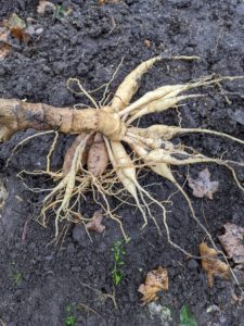 Here is a clean clump of dahlia tubers with their roots intact.
