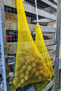 Using mesh bags we saved from our yearly bulb orders, the nuts are hung up in a dry place for two to three weeks. This ensures that the nuts are cured properly. Well-dried nuts will keep longer. If left outside to dry, make sure they're protected from direct sunlight, rain, and squirrels.