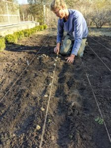 Gavin starts placing the garlic cloves about six inches from each other under each twine row.