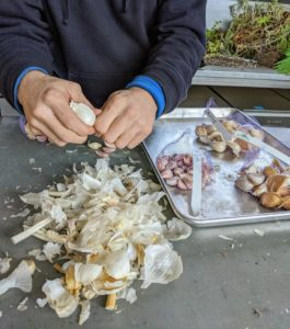 And then he prepares the garlic for planting. Ryan cracks each bulb and separates all the cloves. He does this carefully, so as not to damage any of them. For the best results, plant the largest cloves from each bulb and save the smaller ones for eating.
