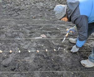 Phurba gets through each row very quickly. The majority of garlic in the US is planted from mid-October through November, several weeks before the ground fully freezes. Once the garlic clove is in the hole, simply backfill the hole.