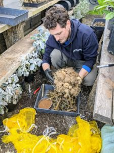 Ryan does this process for each and every clump of tubers. He checks and trims any rotten pieces and feels each tuber. They should all feel firm to the touch.
