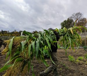 Here, one can see how long the broom corn has grown. Ryan takes the stalks to the greenhouse where they will be prepared for curing.