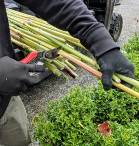 Ryan trims all the stalks to the same length.