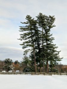 Even with the falling snow, it is hard to miss this stand of eastern white pine trees, Pinus strobus. White pines are the tallest trees in eastern North America.
