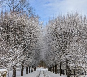 And this is my original Allee of Linden – so beautiful in any season. As these trees grow, the trunks stand like pillars with their branches covered with dense foliage, making them a great choice for a beautifully sculpted allee. Now the branches are covered in fresh white snow.