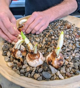 Paperwhites grow easily in well-drained gravel, good daylight, and temperatures ranging between 60-degrees and 65-degrees Fahrenheit. A room that is too warm may result in leggy plants that topple easily.